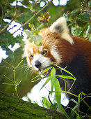Red Panda in a tree amongst branches.