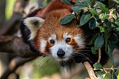 This is a cute red panda