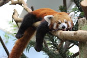 A red panda resting on a branch with tongue out