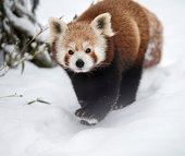 Red Panda (Ailurus Fulgens) walking through the Snow.