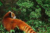 Red panda in the reserve Chengdu Research China Ailurus fulgens