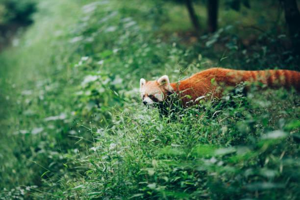 roter panda geht in dem grünen rasen - seltene pflanzen stock-fotos und bilder