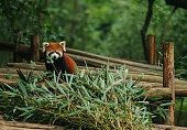 Red panda in the reserve Chengdu Research China Ailurus fulgens