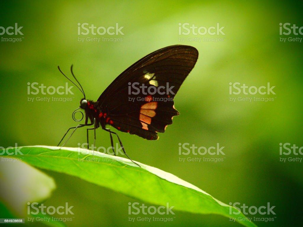 Parides rot Schmetterling Lizenzfreies stock-foto
