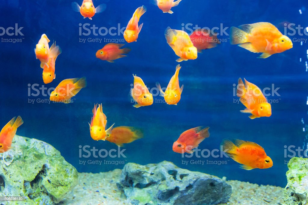 Red Parrot Cichlid stock photo