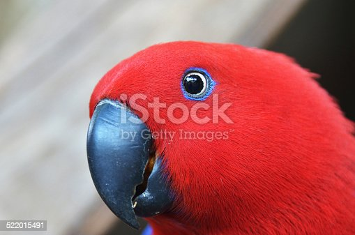 1153034372istockphoto Red parrot close up look - in tropical forest 522015491