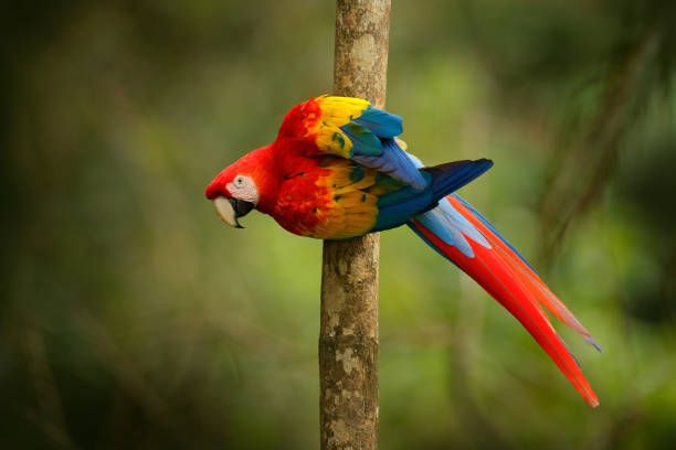 Red parrot Scarlet Macaw, Ara macao, bird sitting on the branch, Brazil. Wildlife scene from tropical forest. Beautiful parrot on tree freen tree in nature habitat. stock photo