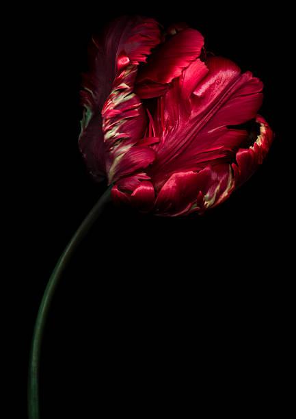 Red Parrot Tulip stock photo