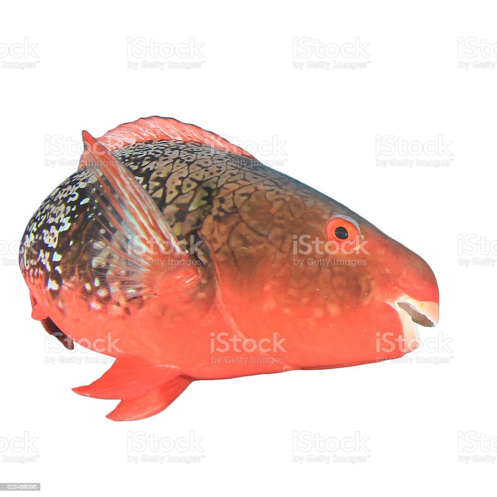 Red Parrotfish Isolated Stock Photo & More Pictures of Animal   iStock