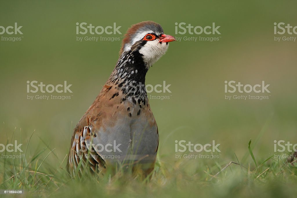 Red partridge between green grass of spring stock photo