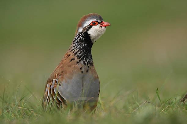red partridge between green grass of spring - perdiz roja fotografías e imágenes de stock