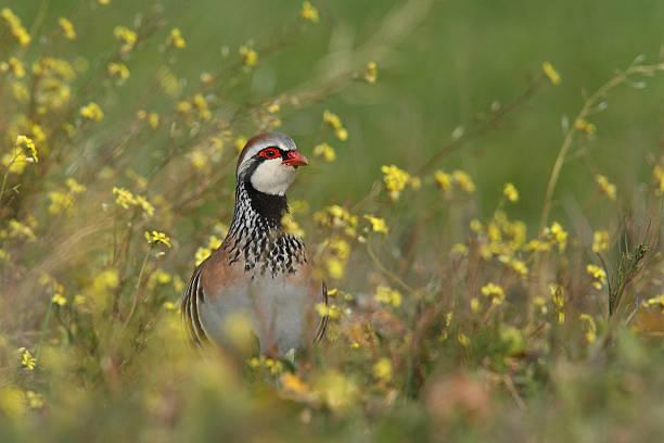 red partridge - perdiz roja fotografías e imágenes de stock