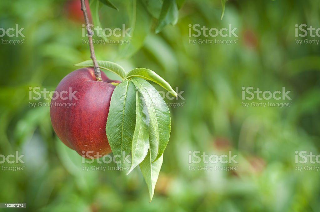 Red Peach Against Green royalty-free stock photo