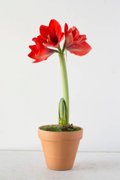 paon rouge amaryllis en pot - amaryllis photos et images de collection