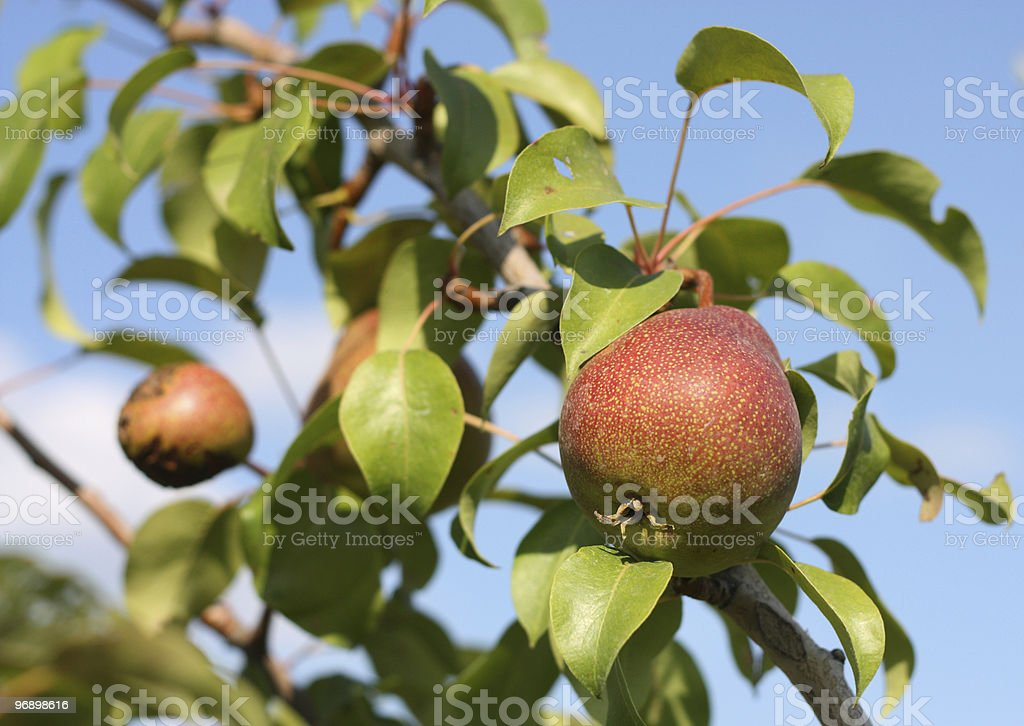 Red pears on branch in  garden. royalty-free stock photo