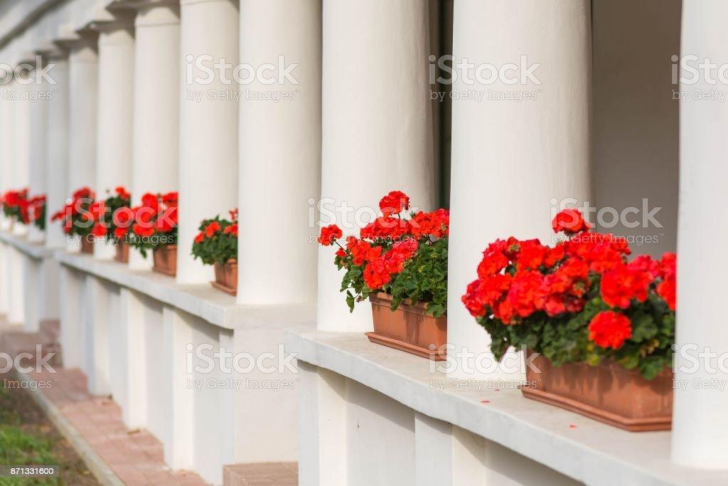 Rote Geranien Blumen In Einem Topf Auf Der Fensterbank Von Aussen