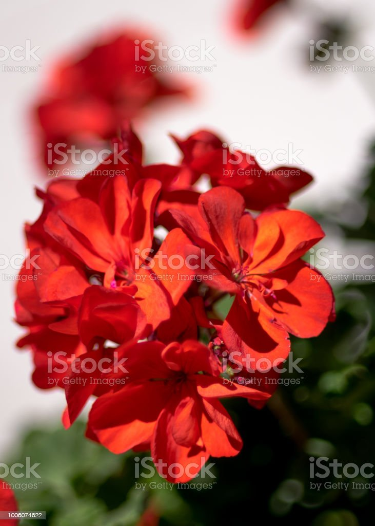 Red pelargonium- flowers on the terrace stock photo