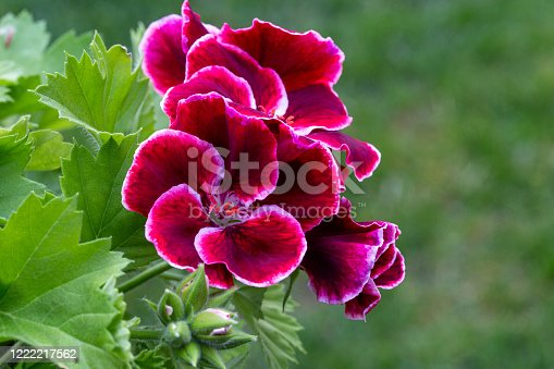 istock Red pelargonium in white flower pot in the garden 1222217562