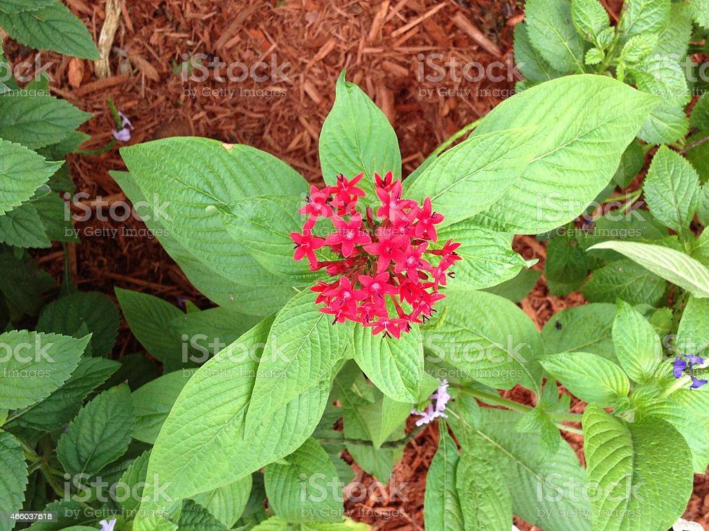 Red pentas, lanceolata stock photo