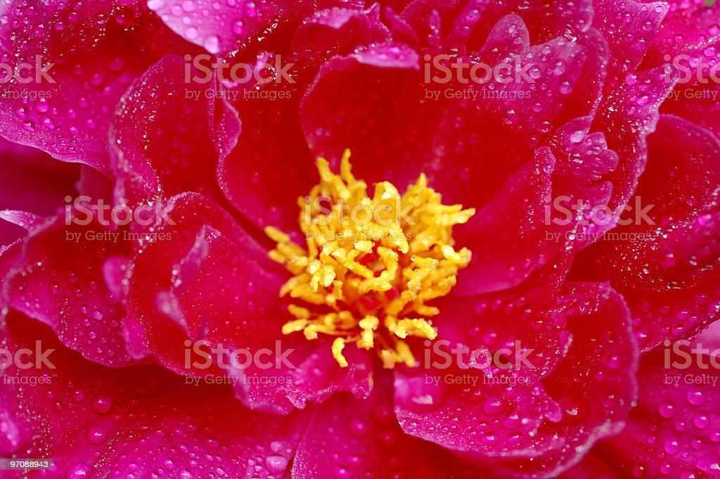 Red peony  (Paeonia) blossom royalty-free stock photo