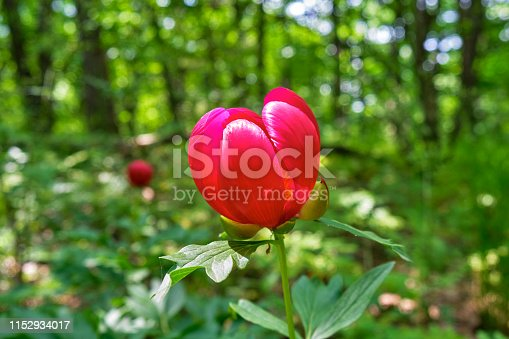 Red peony flower in the woods of Macin mountains, Romania, as seen from the hiking route Cozluk, a popular route for observing peony flowers in the Spring (late April, May).