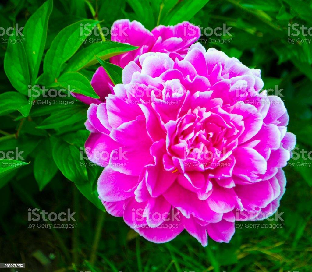 röd pion blommor - Royaltyfri Blomkorg - Blomdel Bildbanksbilder