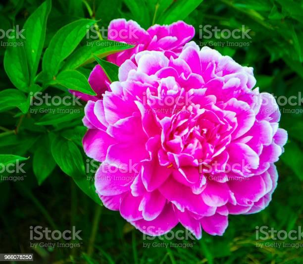 Röd Pion Blommor-foton och fler bilder på Blomkorg - Blomdel