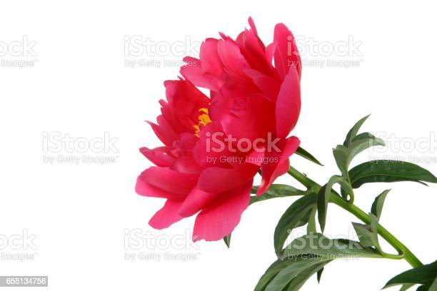 Red peony isolated on white background picture id655134756?b=1&k=6&m=655134756&s=612x612&h= ei  8sm4s03 828v1mzlb0dtvqcjv2plxcypjp3kpm=