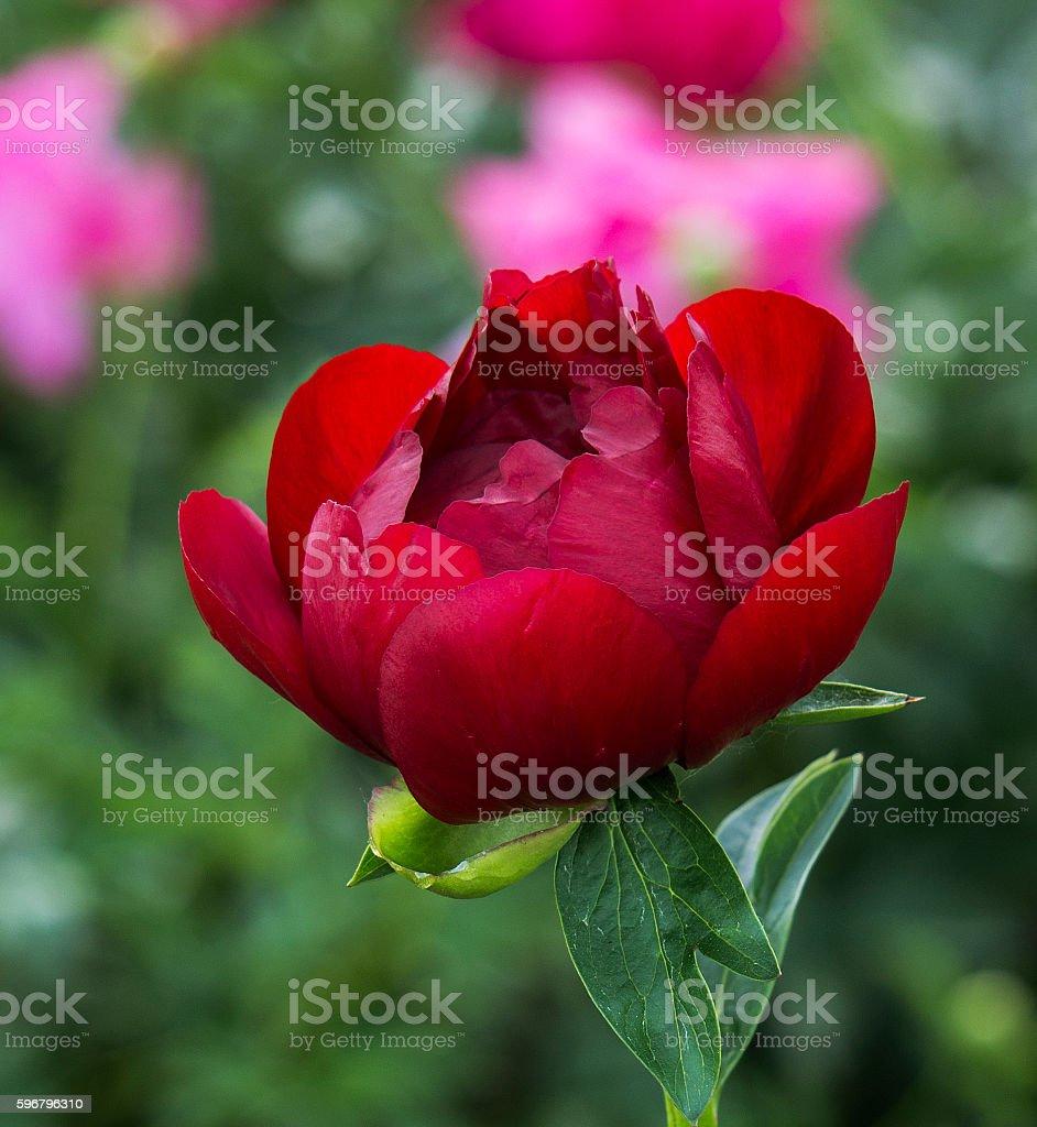 Red peony stock photo