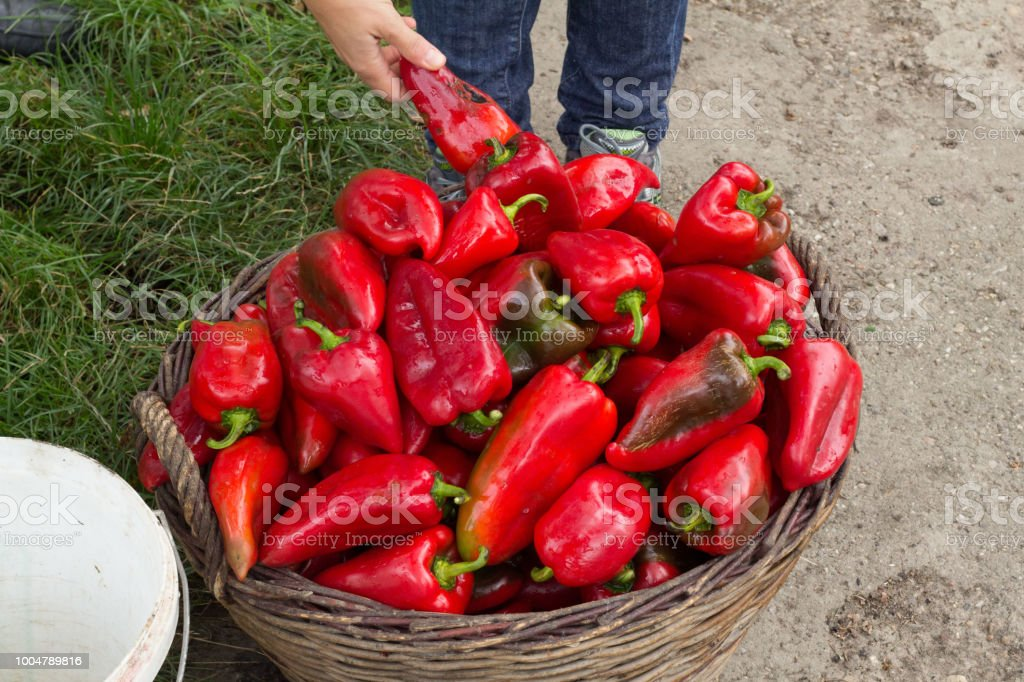 Red peppers (paprika) for making ajvar stock photo