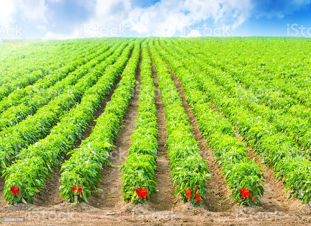 Red Peppers in a field with irrigation system stock photo