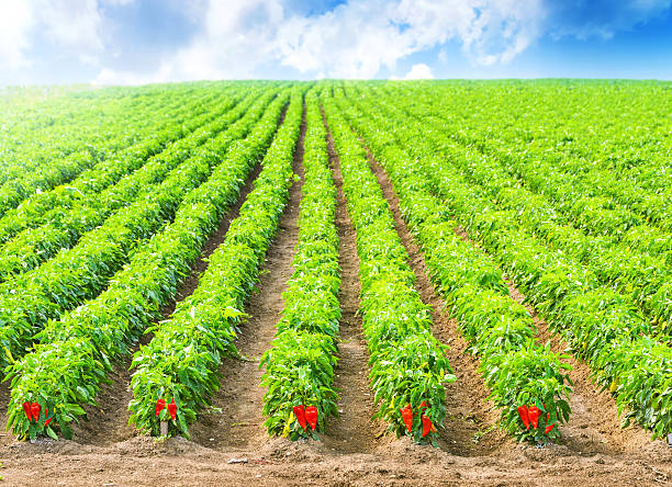 Red Peppers in a field with irrigation system