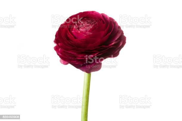 Red persian buttercup flower picture id835463908?b=1&k=6&m=835463908&s=612x612&h=ltsqahzuqiivb78zg oekppf0jz4imxgdep96pjt5 4=