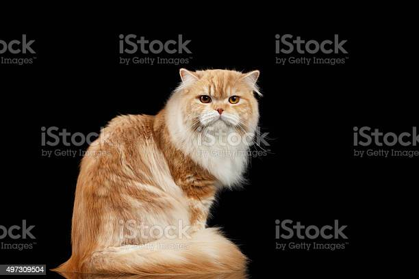 Red persian cat angry sits and turned back on black picture id497309504?b=1&k=6&m=497309504&s=612x612&h=vmfnwaqkrtnk h3k8g tenn7lb6d4besdtld7uxod q=