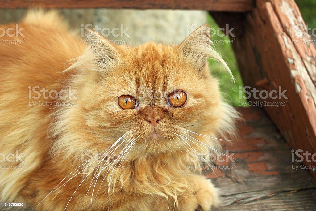 Rosso Gatto Persiano Fotografie Stock E Altre Immagini Di Animale