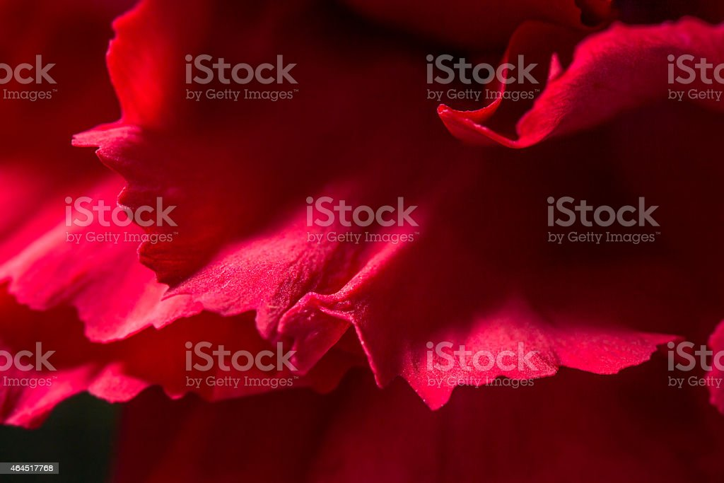 Red Petal of a Carnation stock photo