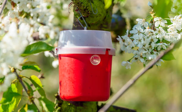 Red pheromone trap Red and white pheromone trap to lure insects. Here on a cherry tree in bloom. ensnare stock pictures, royalty-free photos & images
