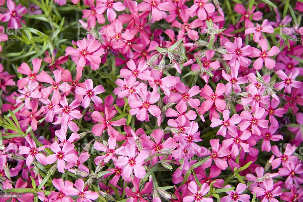 Red Phlox Background royalty-free stock photo