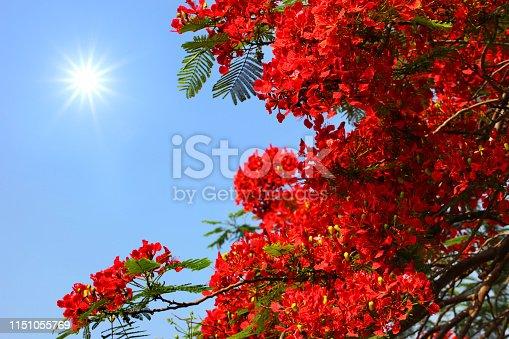 Red Phoenix flower on blue sky