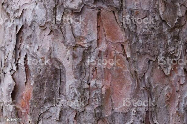 Photo of Red Pine Bark