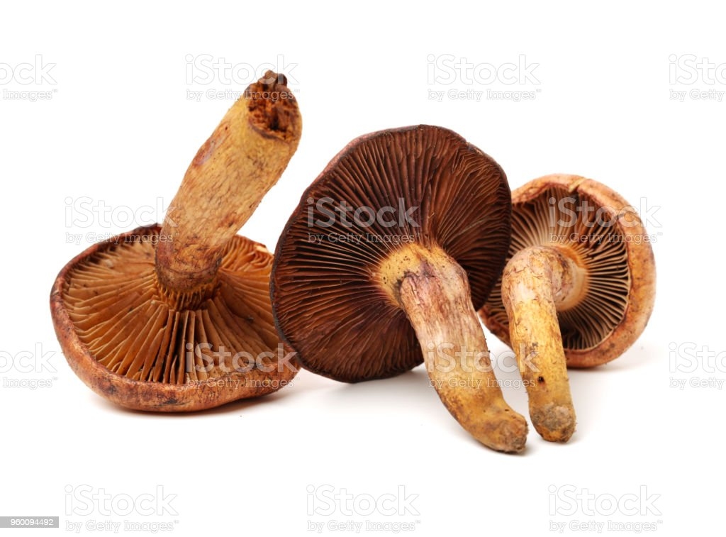 Red pine tree mushrooms isolated in a white background stock photo