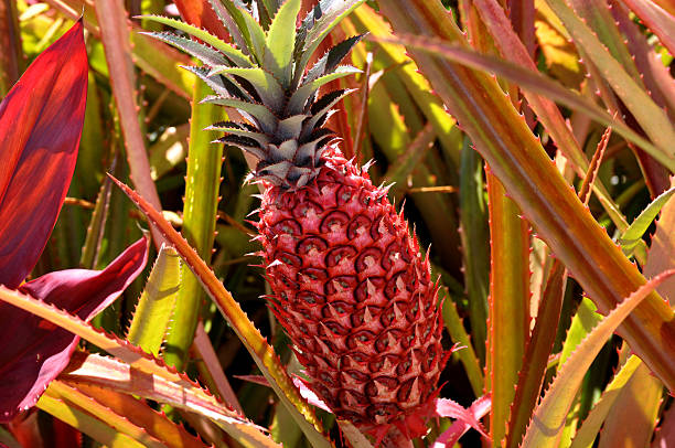 Red Pineapple At The Dole Plantation