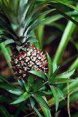 Pineapple fruit in the garden