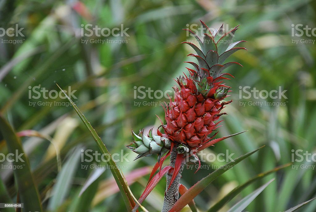 Red Pineapple1 royalty-free stock photo