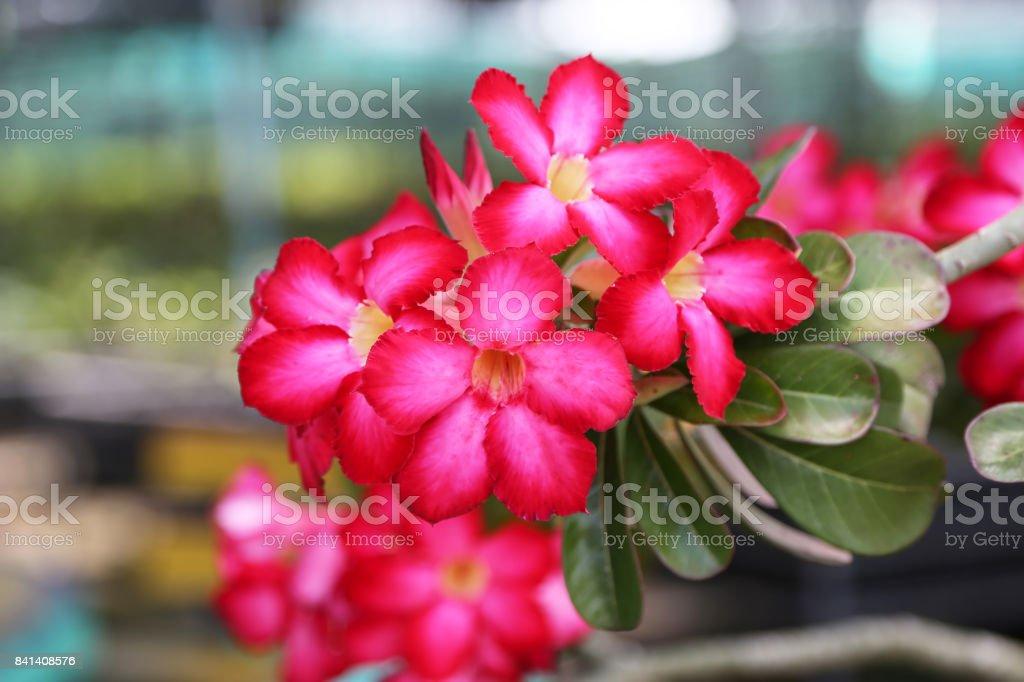 Red pink Adenium in plants nursery. stock photo