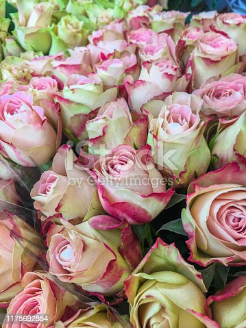 A background of delicate pale pink roses spotted with green and red.  In the language of the flowers, pink roses mean  love, gratitude and appreciation.   They are classic symbol of grace and elegance, the pink rose is often given as a token of admiration and appreciation.