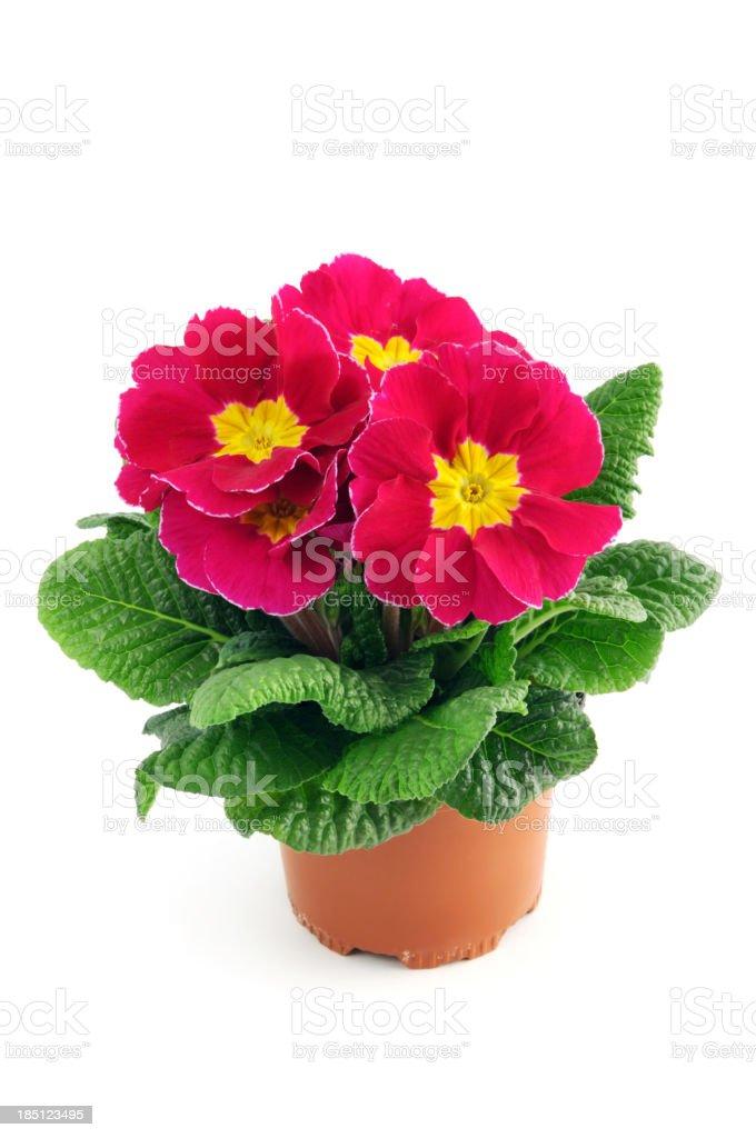 red pink Primula Primrose (Temperate Flower) stock photo