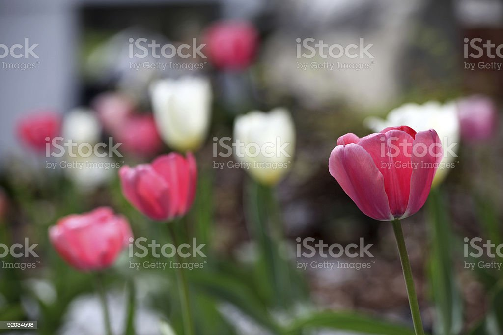 Red, Pink, White Tulips stock photo