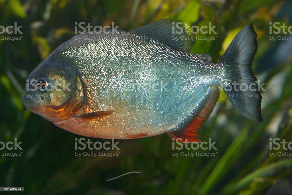 Red Piranha   (Pygocentrus nattereri) stock photo