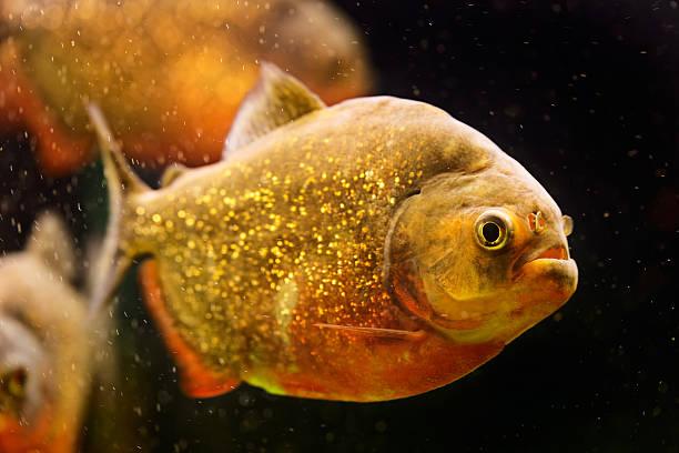 red pirania (serrasalmus nattereri) pływanie pod wodą - pirania zdjęcia i obrazy z banku zdjęć